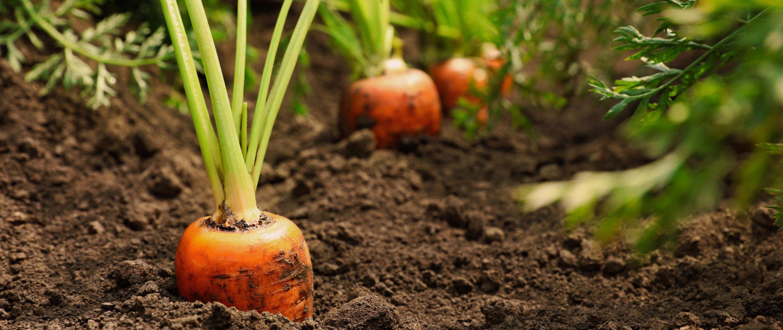Image de carottes primeurs